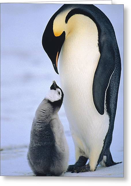 Seabirds Greeting Cards - Emperor Penguin Adult With Chick Greeting Card by Konrad Wothe
