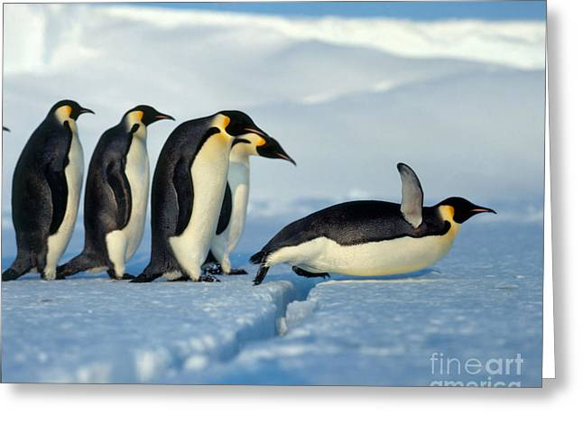 Aptenodytes Greeting Cards - Emperor Penguin Aptenodytes Forsteri Greeting Card by Hans Reinhard