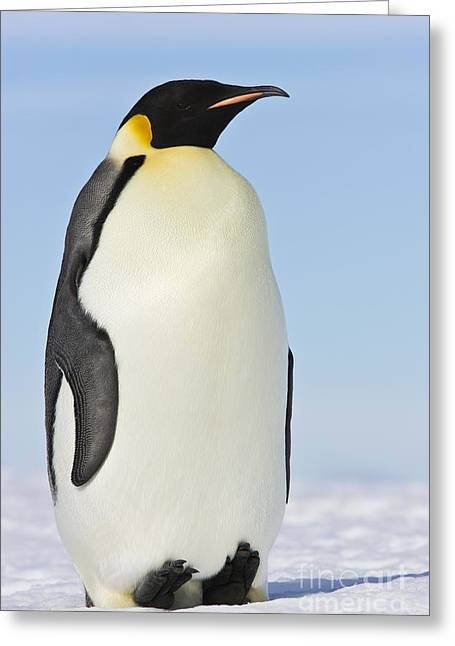 Cold Feet Greeting Cards - Emperor Penguin Greeting Card by Jean-Louis Klein and Marie-Luce Hubert