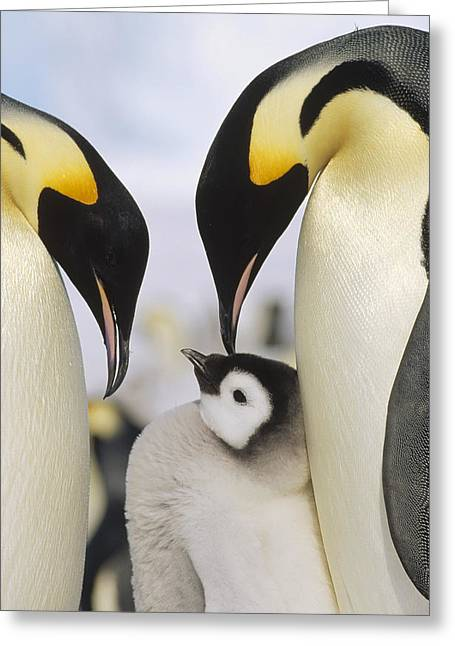 Three Chicks Greeting Cards - Emperor Penguin Parents With Chick Greeting Card by Konrad Wothe