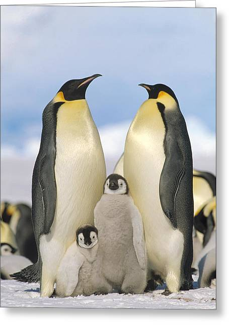 Emperor Penguin Parents With Chicks Greeting Card by Konrad Wothe
