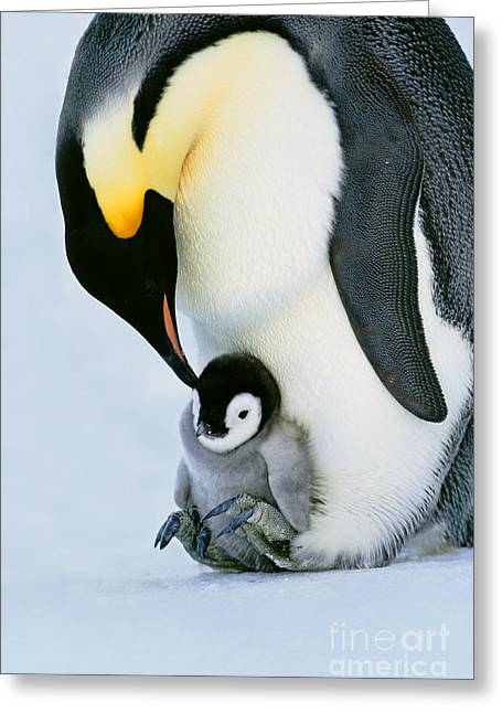 Animal Body Part Greeting Cards - Emperor Penguin With Chick On Feet Greeting Card by Frans Lanting/MINT Images