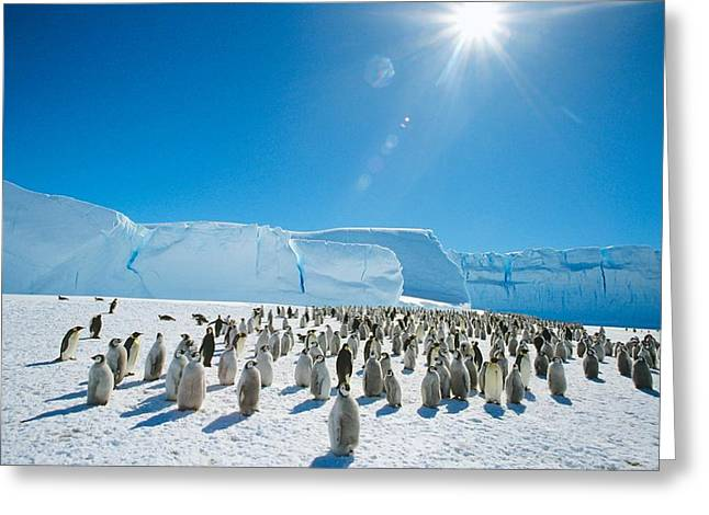 Aptenodytes Forsteri Greeting Cards - Emperor penguins Greeting Card by Science Photo Library