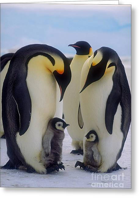 Emperor Penguin Greeting Cards - Emperor Penguins With Their Chicks Greeting Card by Art Wolfe
