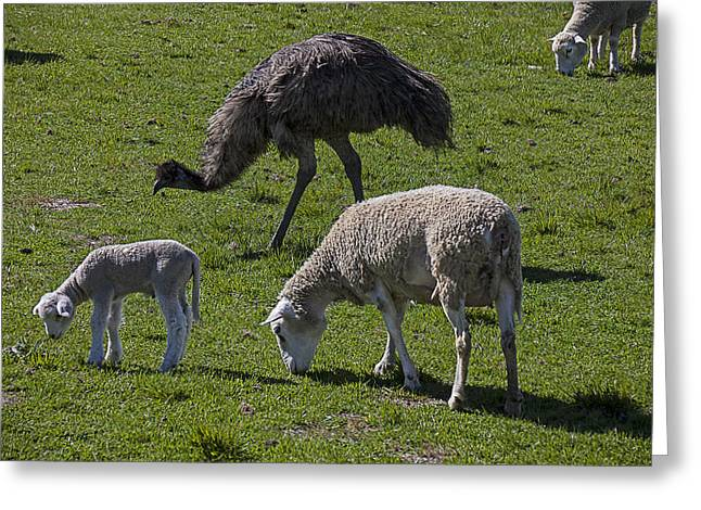 Sheep Photographs Greeting Cards - Emu and sheep Greeting Card by Garry Gay