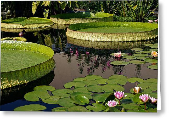 Victoria Cruziana Greeting Cards - Enchanting Water Garden Greeting Card by Byron Varvarigos