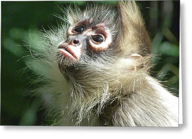 Saheed Greeting Cards - Enchanting Young Spider Monkey Greeting Card by Margaret Saheed
