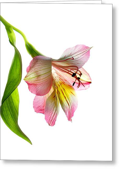 Peruvian Lily Greeting Cards - Enchantment Greeting Card by Deborah J Humphries