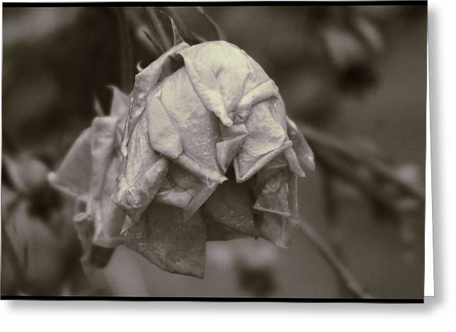 Ron Roberts Photography Greeting Cards - End of a Rose Greeting Card by Ron Roberts