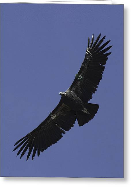 Juvenile Turkey Greeting Cards - Endangered California Condor Greeting Card by Ram Vasudev