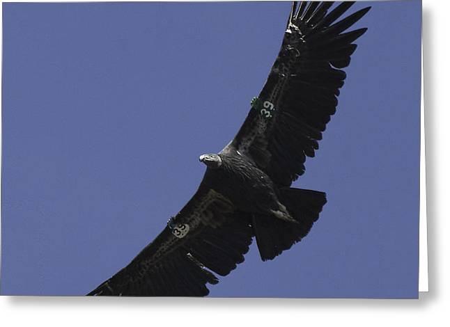 Endangered California Condor Greeting Card by Ram Vasudev