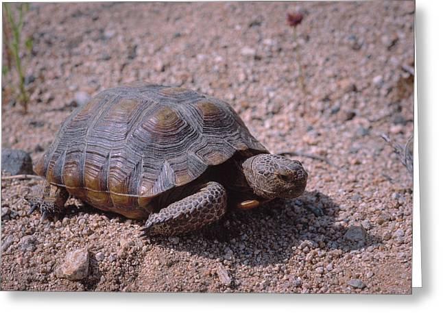 Endangered Desert Tortoise, (gopherus Greeting Card by Greg Probst