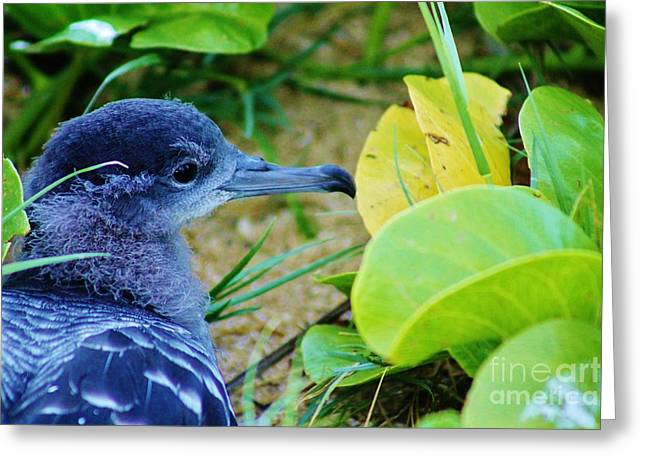 Seabirds Greeting Cards - Endangered Wedge Tailed Shearwater Greeting Card by Craig Wood