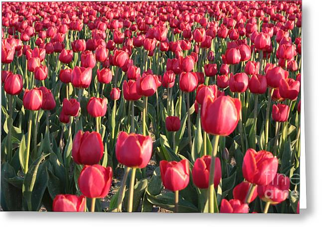 Above The Sofa Art Greeting Cards - Endless Red Tulips Canvas Greeting Card by Carol Groenen