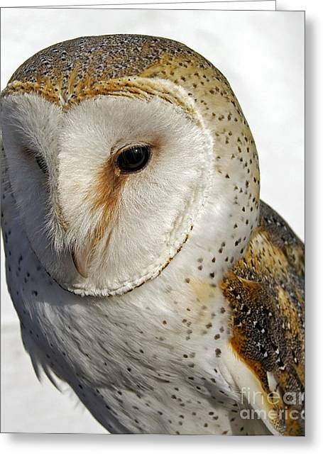 Kinds Of Birds Greeting Cards - English Barn Owl Greeting Card by Skip Willits