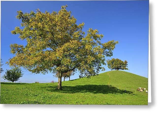 Thomas Marent Greeting Cards - English Black Walnut Tree Switzerland Greeting Card by Thomas Marent