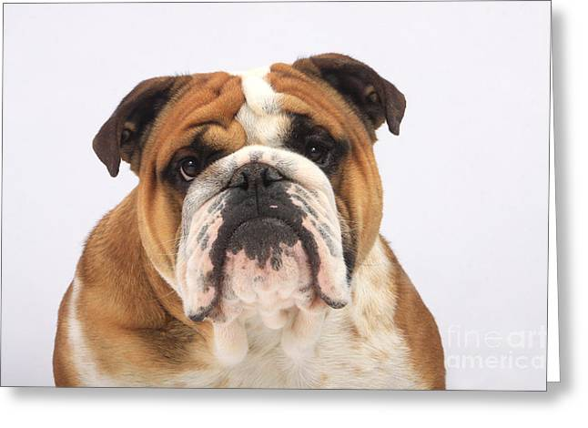 English Bulldog Portrait Greeting Cards - English Bulldog Greeting Card by Christine Steimer