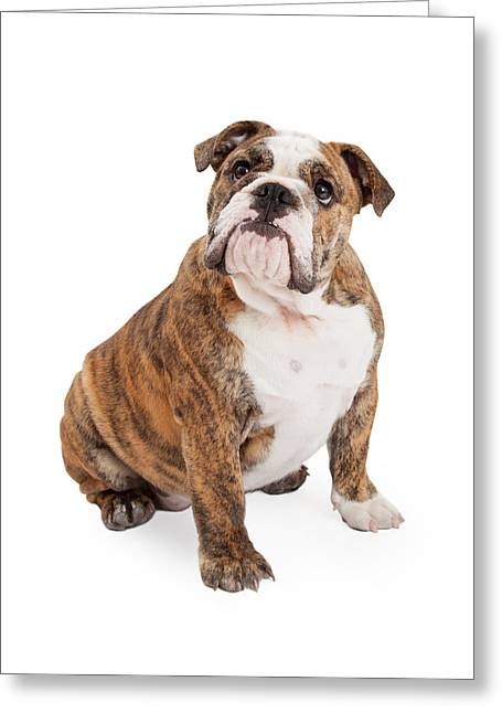 Full-length Portrait Greeting Cards - English Bulldog Sitting Looking Up Greeting Card by Susan  Schmitz
