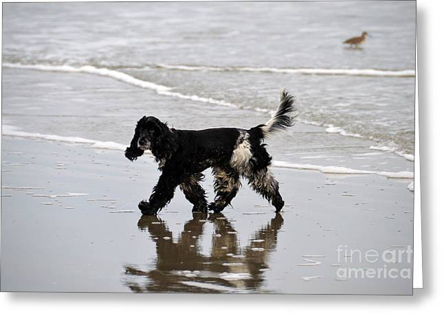 Catherine White Greeting Cards - English Cocker Spaniel on the Beach Greeting Card by Catherine Sherman