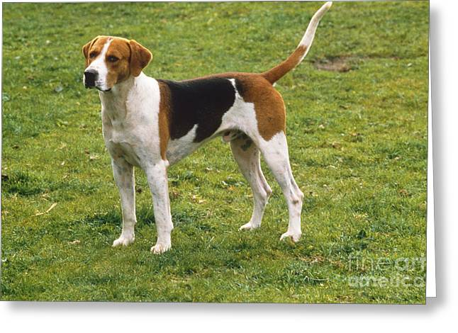 Foxhound Greeting Cards - English Foxhound Greeting Card by Kramer/Info Hund