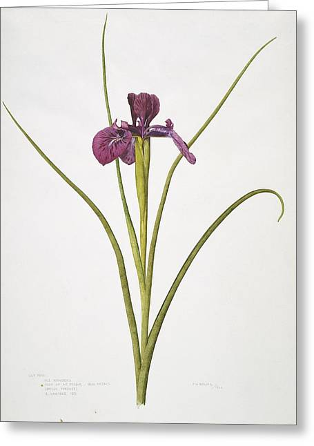 Frank Howard Greeting Cards - English iris flower, 20th century Greeting Card by Science Photo Library