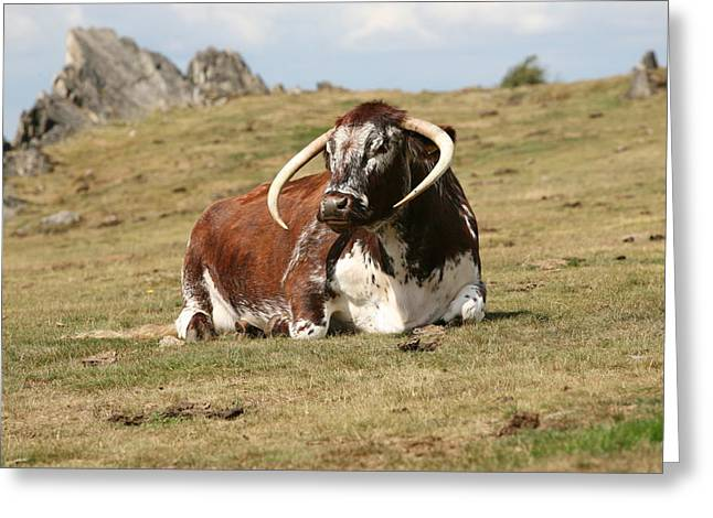 Mark Severn Greeting Cards - English Longhorn Greeting Card by Mark Severn