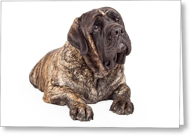 Brindle Greeting Cards - English Mastiff Dog Laying Head Tilted Greeting Card by Susan  Schmitz