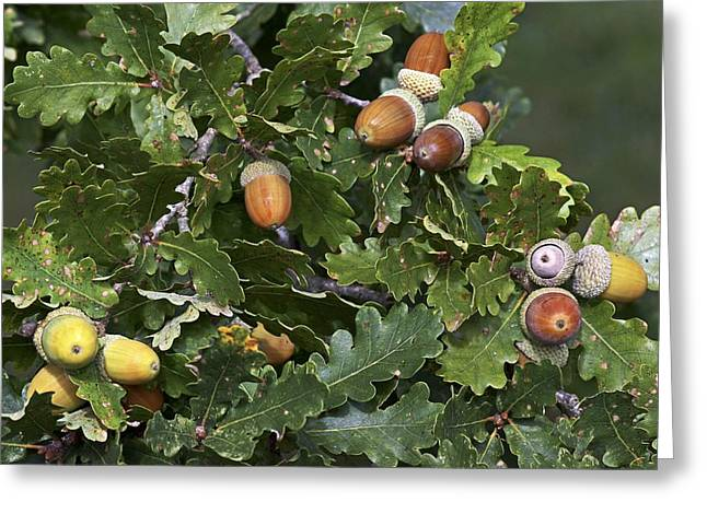 Ripening Fruit Greeting Cards - English Oak (Quercus robur) Greeting Card by Science Photo Library
