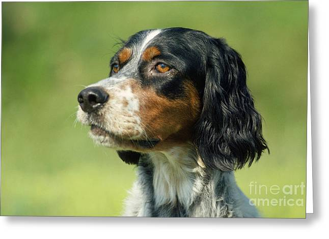 Breeds Greeting Cards - English Setter Dog Greeting Card by Jean-Paul Ferrero