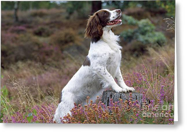 Breeds Greeting Cards - English Springer Spaniel Dog Greeting Card by John Daniels