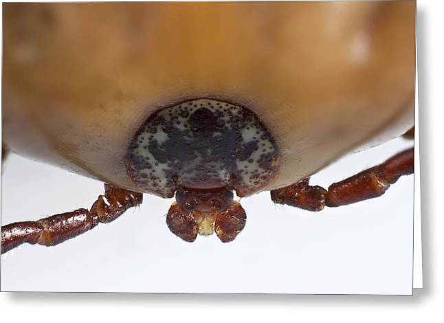 Fed Greeting Cards - Engorged Ixodes tick Greeting Card by Science Photo Library