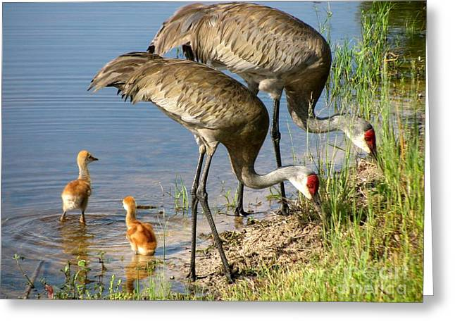 Sandhill Crane Greeting Cards - Enjoying the water Greeting Card by Zina Stromberg