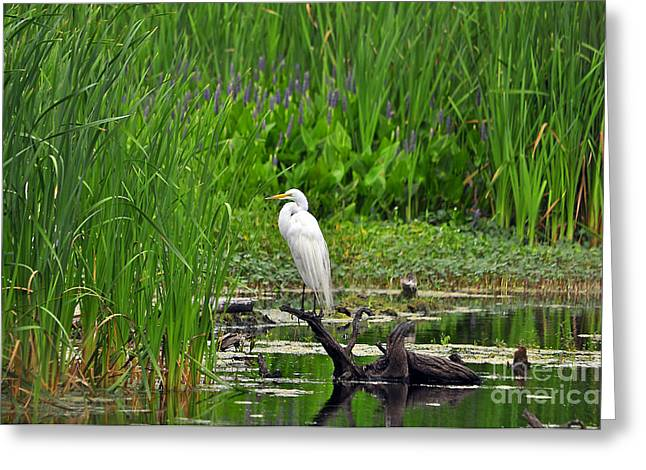 Great White Egret Greeting Cards - Enticing Egret Greeting Card by Al Powell Photography USA