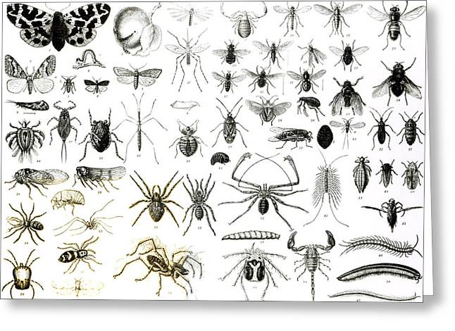 Spider And Fly Greeting Cards - Entomology Myriapoda and Arachnida  Greeting Card by English School