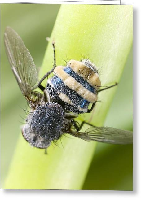 Adaptation Greeting Cards - Entomophthora muscae parasitising a fly Greeting Card by Science Photo Library