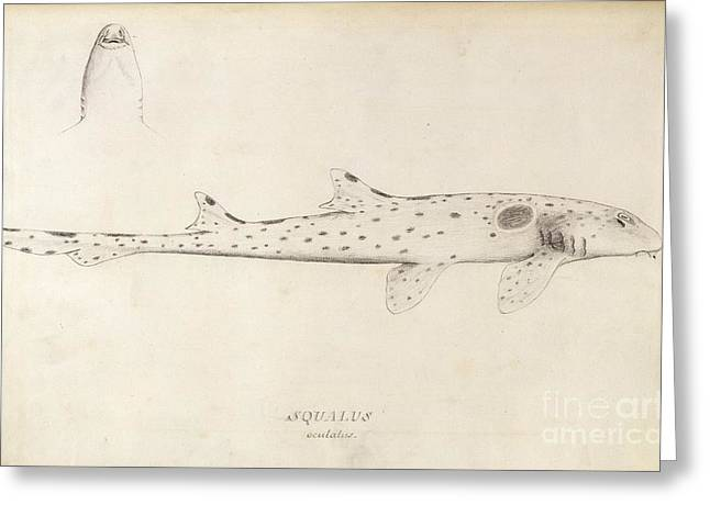 White Shark Greeting Cards - Epaulette Shark, 18th Century Greeting Card by Natural History Museum, London