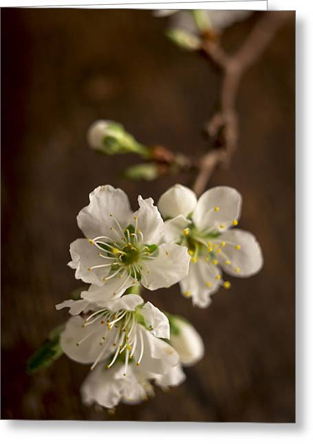 Plum Blossom Greeting Cards - Ephemeral Greeting Card by Caitlyn  Grasso