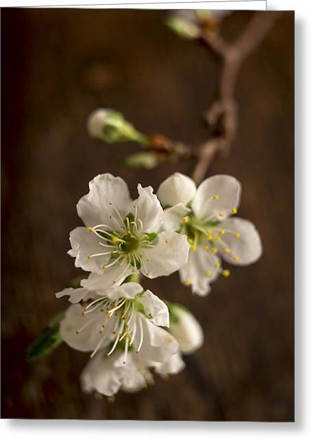 Plum Blossoms Greeting Cards - Ephemeral Greeting Card by Caitlyn  Grasso