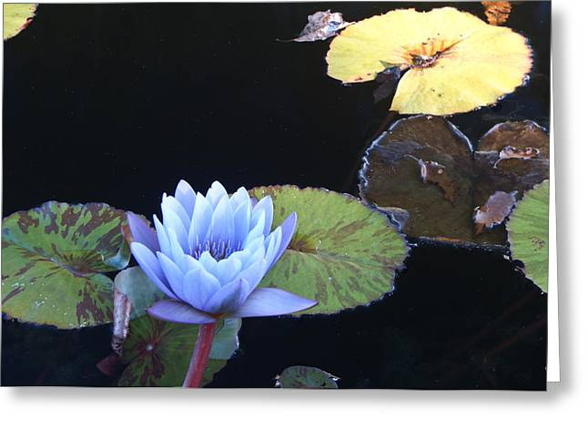 Graceful Lotus Greeting Cards - Ephemeral Ghostly Lily Greeting Card by Douglas Barnett