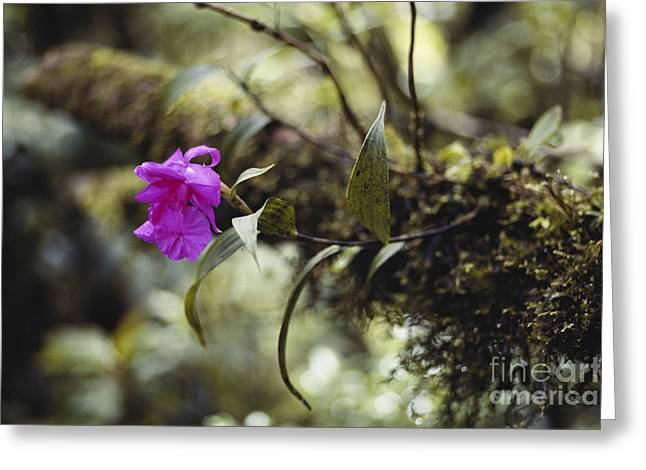 Epiphytic Greeting Cards - Epiphytic Orchid Greeting Card by Gregory G. Dimijian, M.D.