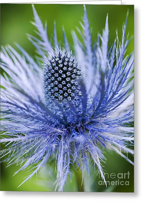 Bract Greeting Cards - Eryngium Alpinum Superbum Greeting Card by Tim Gainey