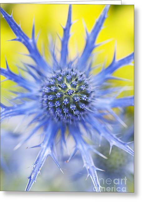 Bract Greeting Cards - Eryngium x Oliverianum Flower Greeting Card by Tim Gainey