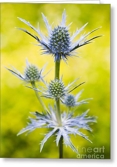 Bract Greeting Cards - Eryngium x Oliverianum Greeting Card by Tim Gainey