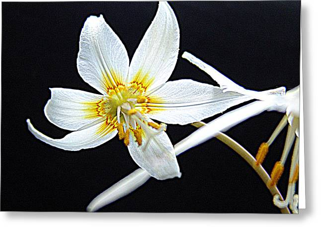 Fawn Mixed Media Greeting Cards - Erythronium californicum  fawn-lily Greeting Card by Janet Ashworth