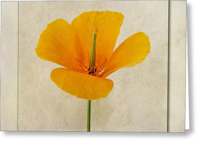 Nectar Greeting Cards - Eschscholzia californica  Californian Poppy Greeting Card by John Edwards