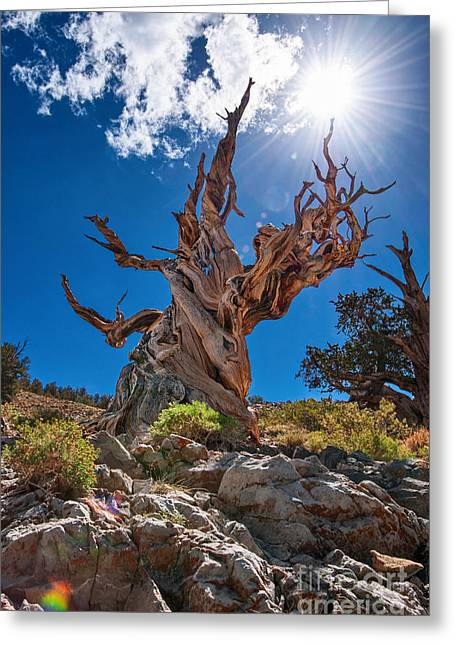 Old Tree Greeting Cards - Eternity - Dramatic view of the Ancient Bristlecone Pine Tree with Sun Burst. Greeting Card by Jamie Pham