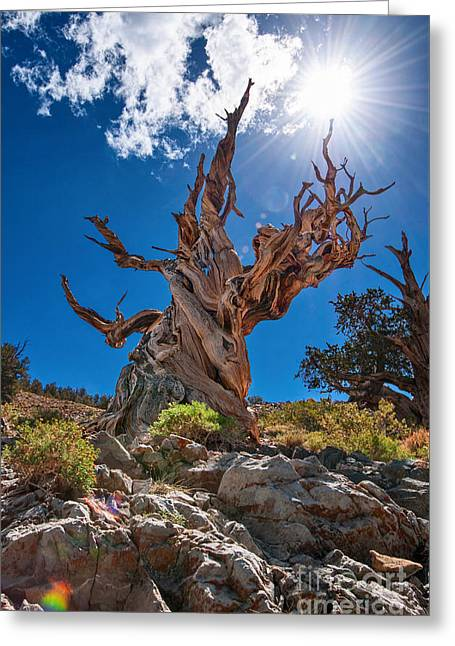 Pine Tree Photographs Greeting Cards - Eternity - Dramatic view of the Ancient Bristlecone Pine Tree with Sun Burst. Greeting Card by Jamie Pham