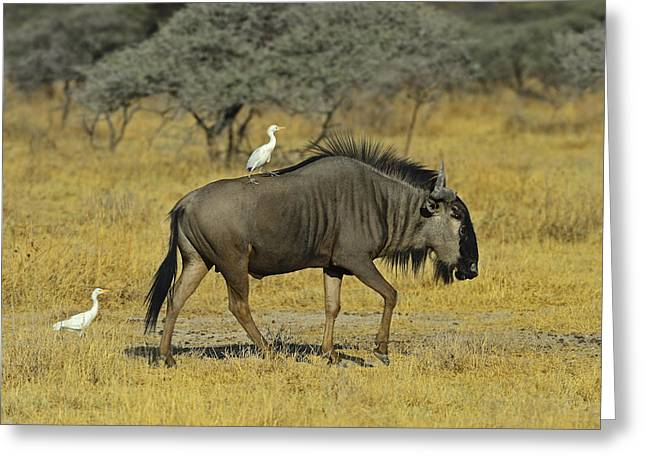 Cattle Egret Greeting Cards - Etosha Taxi Service Greeting Card by Tony Beck