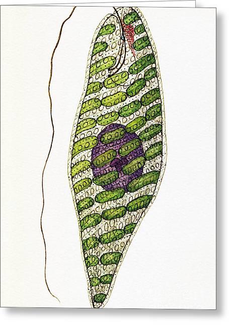 Euglena Greeting Cards - Euglena Splendens Euglenophyta Algae Greeting Card by De Agostini Picture Library