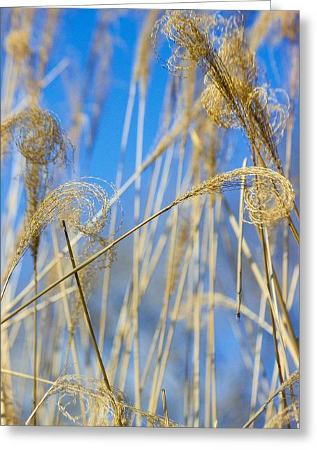 Growth Greeting Cards - Eulalia Grass Native To East Asia Greeting Card by Anonymous